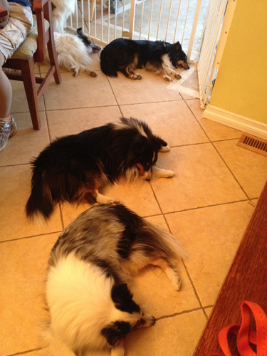 screaming_shelties