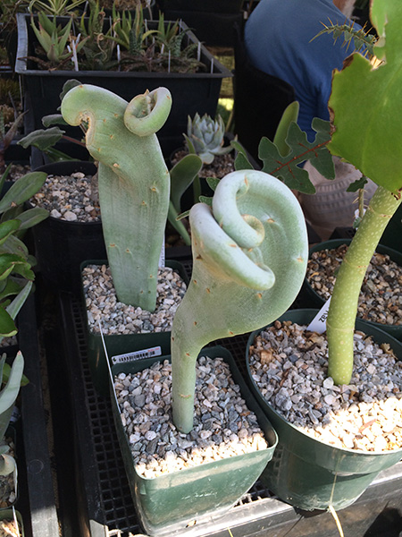 expensive_succulent